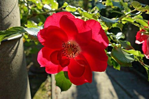 Free stock photo of bloom, flower, flowering plant, plant