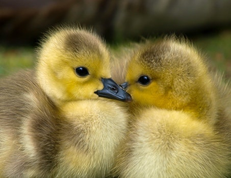 2 Yellow Ducklings Closeup Photography