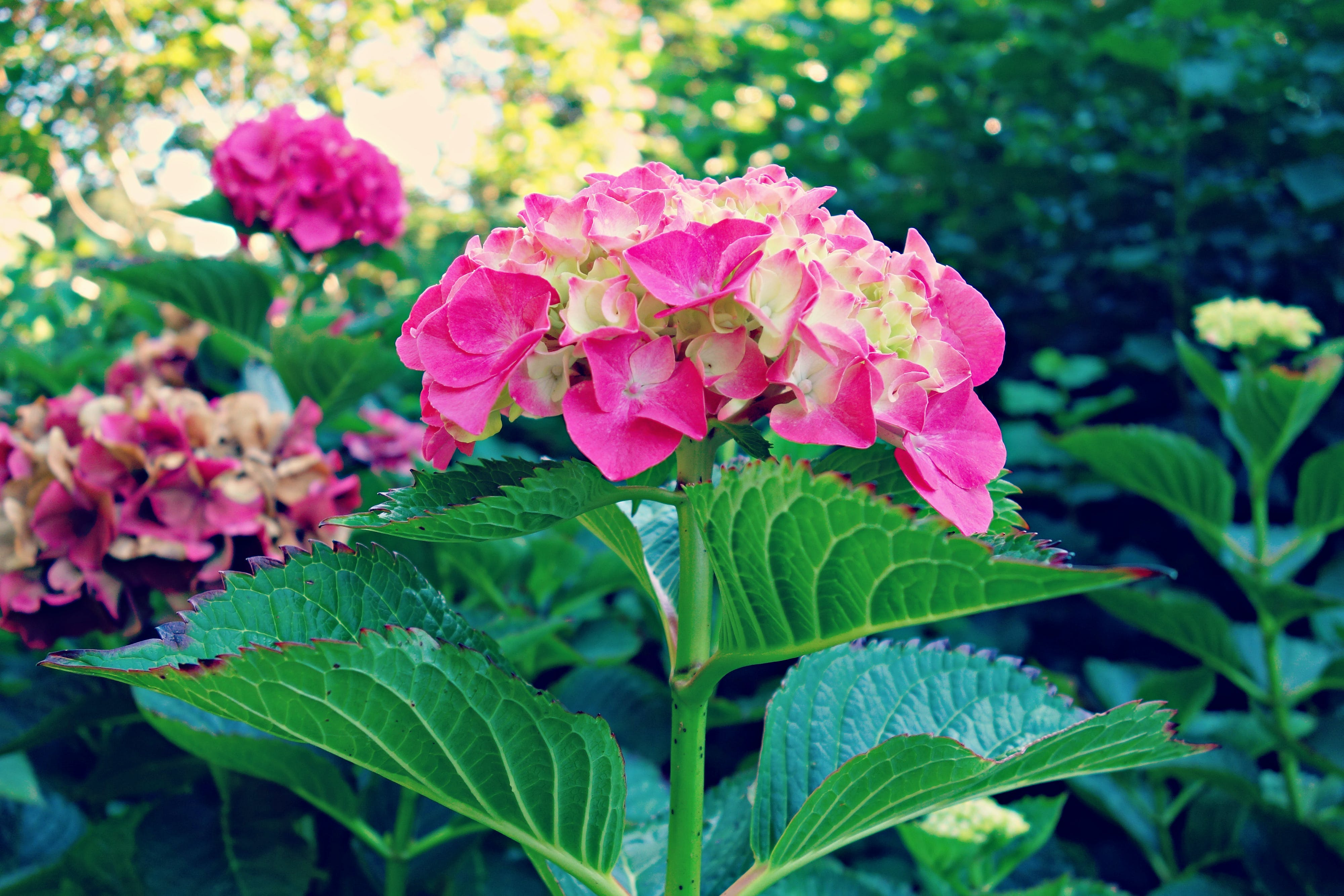 Free stock photo of blossom, flower, flowering shrub, foliage