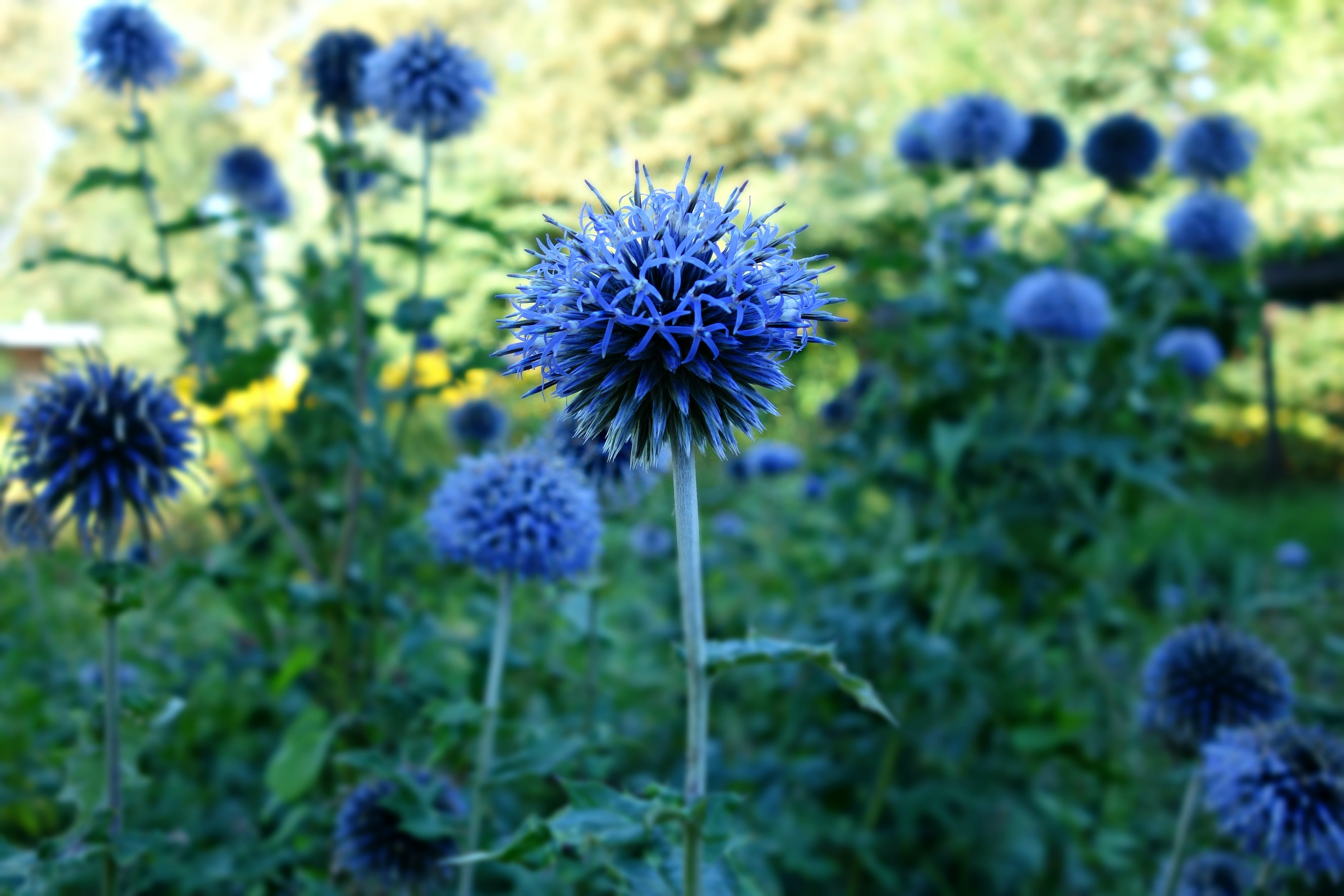 Free stock photo of blossom, blue, flower, summer