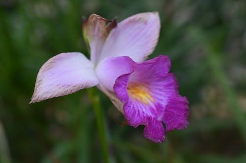 Бесплатное стоковое фото с ботанический сад, природа, розовый цветок, сад