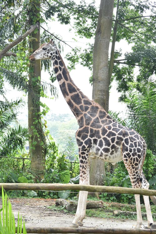 Бесплатное стоковое фото с дикая природа, животные, жираф, зоопарк