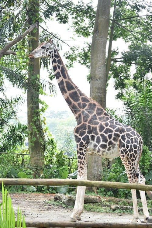дикая природа, животные, жираф
