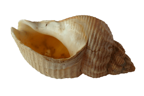 Beige Conch Shell