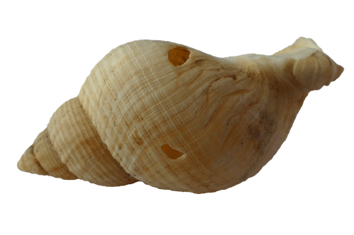 Free stock photo of animals, empty snail shell, ocean