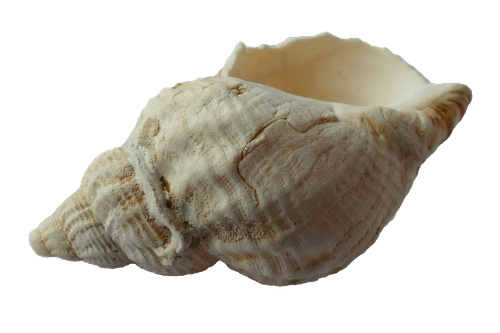 White Conch Shell