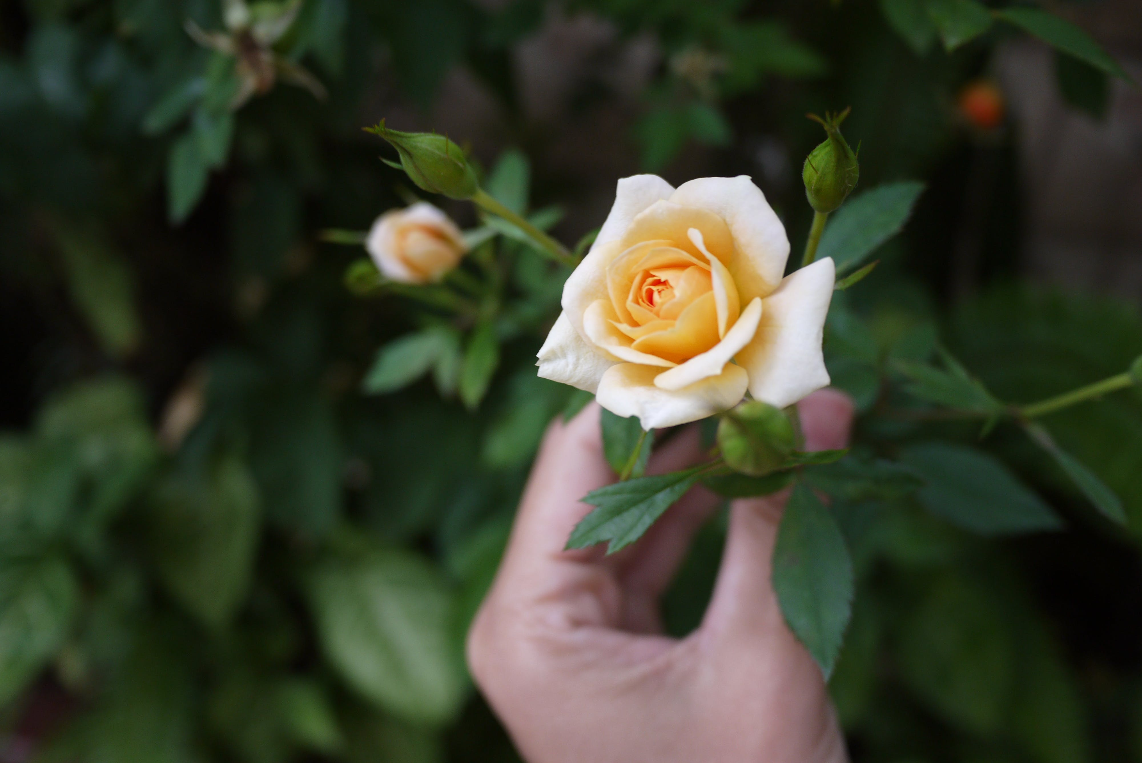 Person Holding Yellow Rose Selective-focus Photography