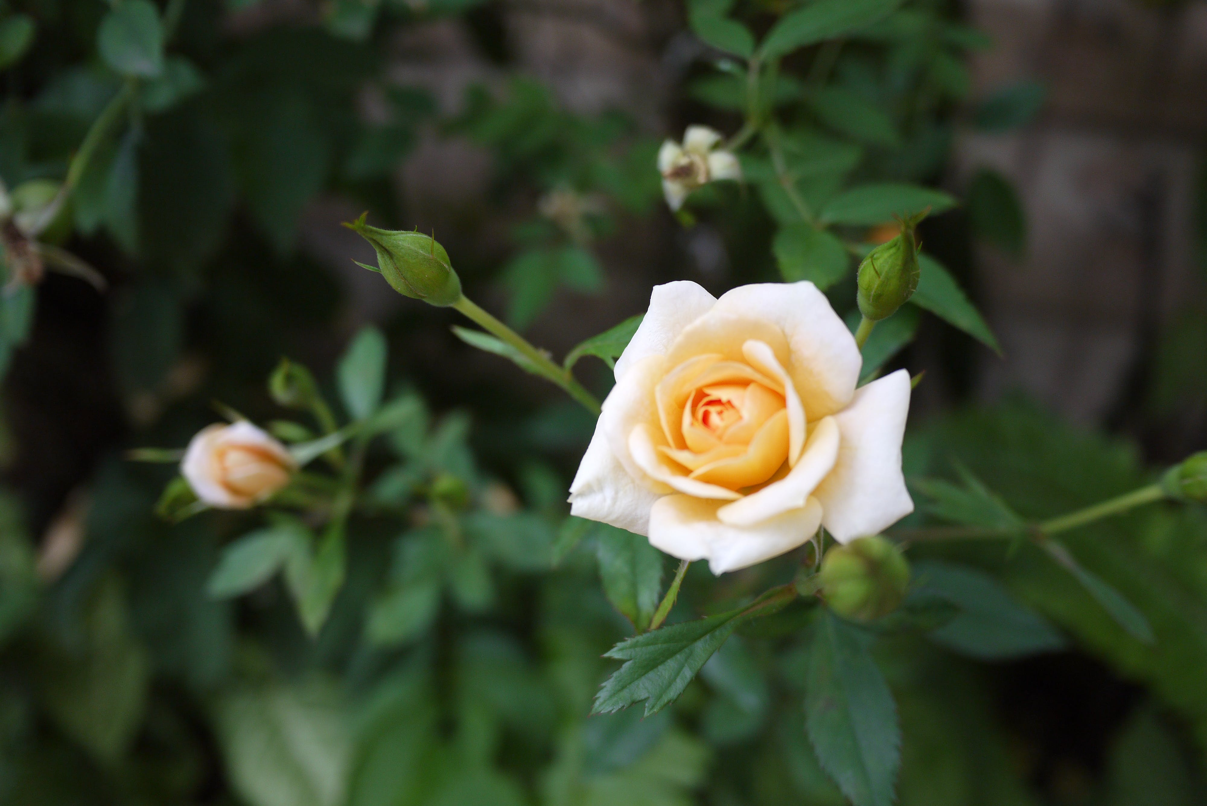 Free stock photo of garden, nature, plant, rose