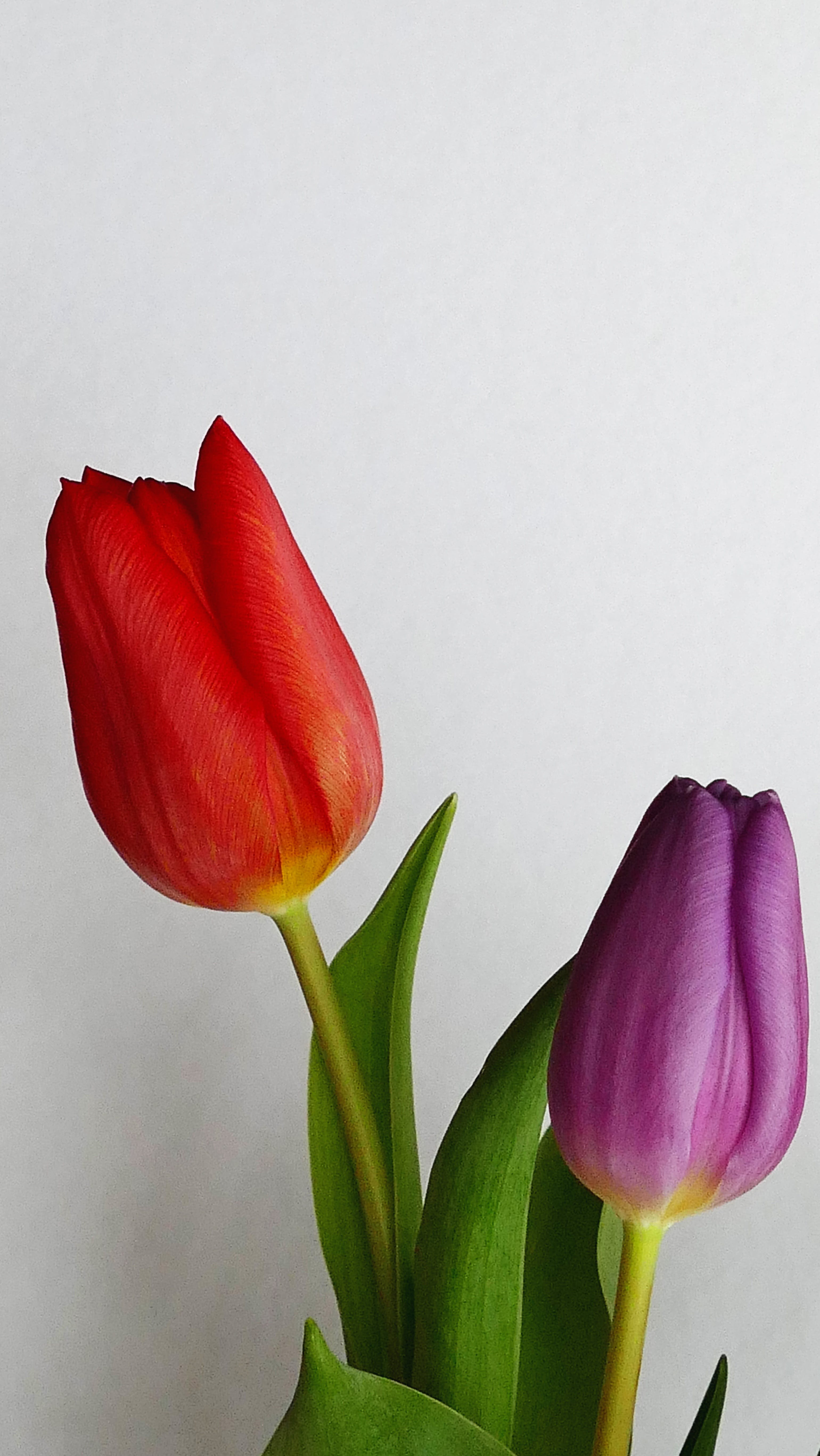 Red and Purple Tulips