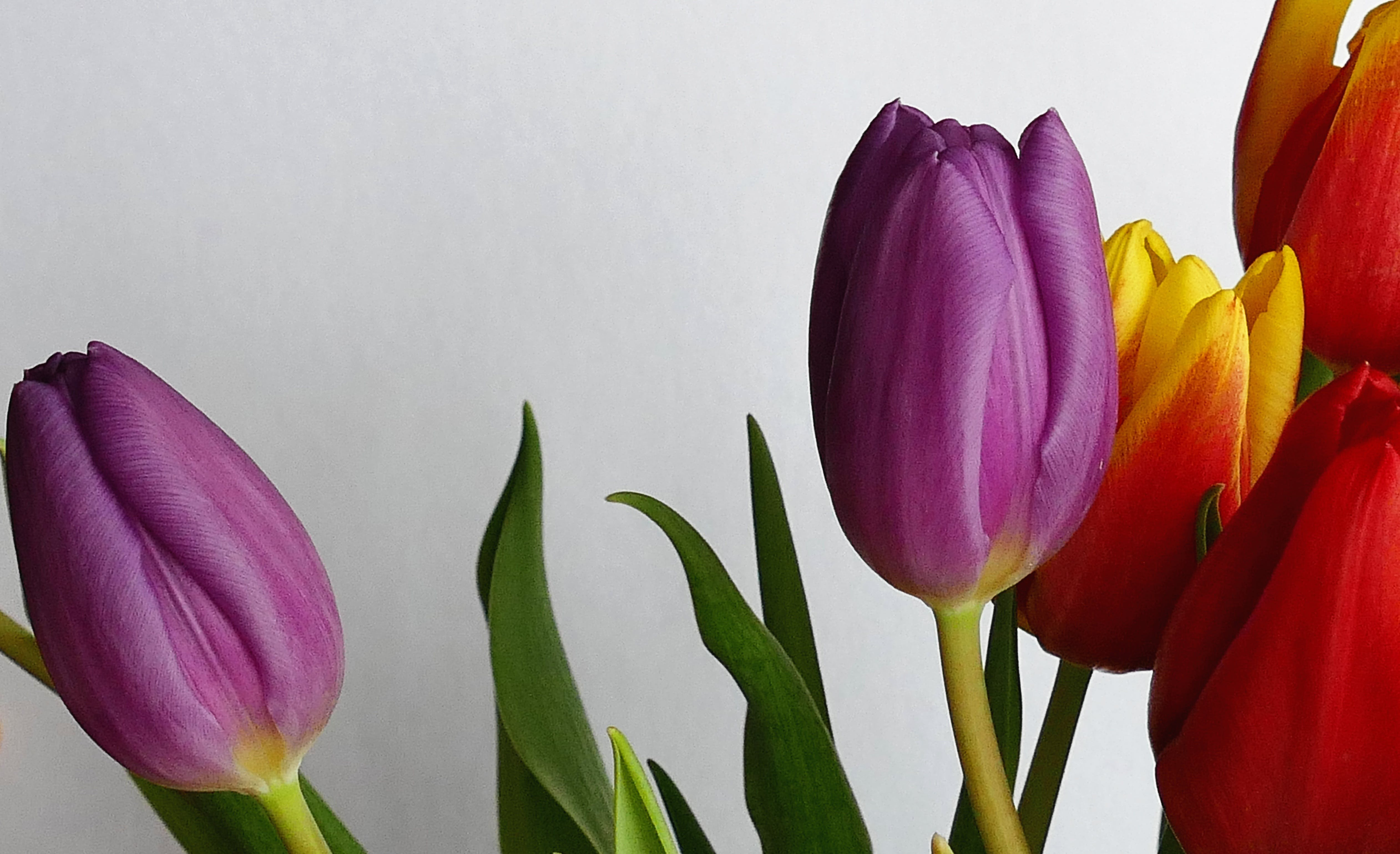 Purple and Red Tulip Flowers Near White Wall