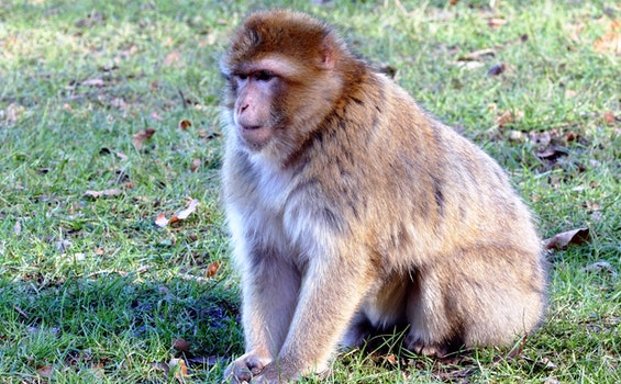 Brown Monkey on Green Grass during Daytime