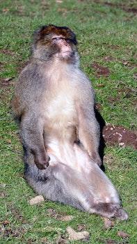 Free stock photo of animals, monkeys, wild, wildlife