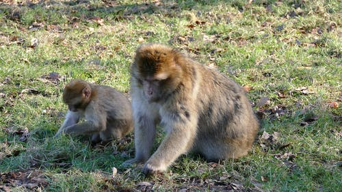 Two Brown Monkeys on Grass