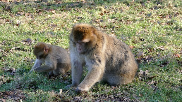 Free stock photo of animals, monkeys, wild, wildlife photography