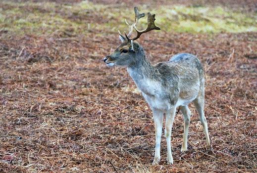 Free stock photo of animals, deer, reindeer, deers