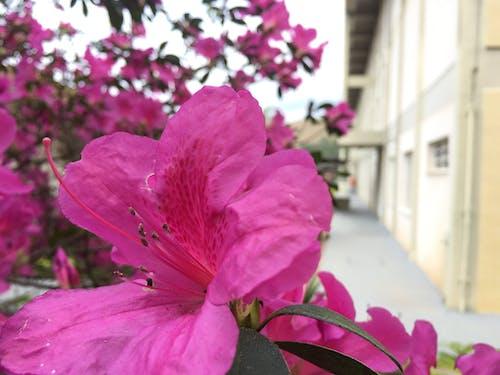 Immagine gratuita di fiore, fiori rosa