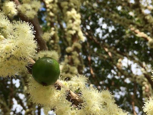 Immagine gratuita di fruta, natura, verde