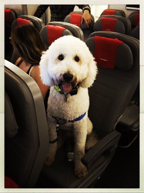 Бесплатное стоковое фото с эмоциональная поддержка животных, эмоциональная собака поддержки