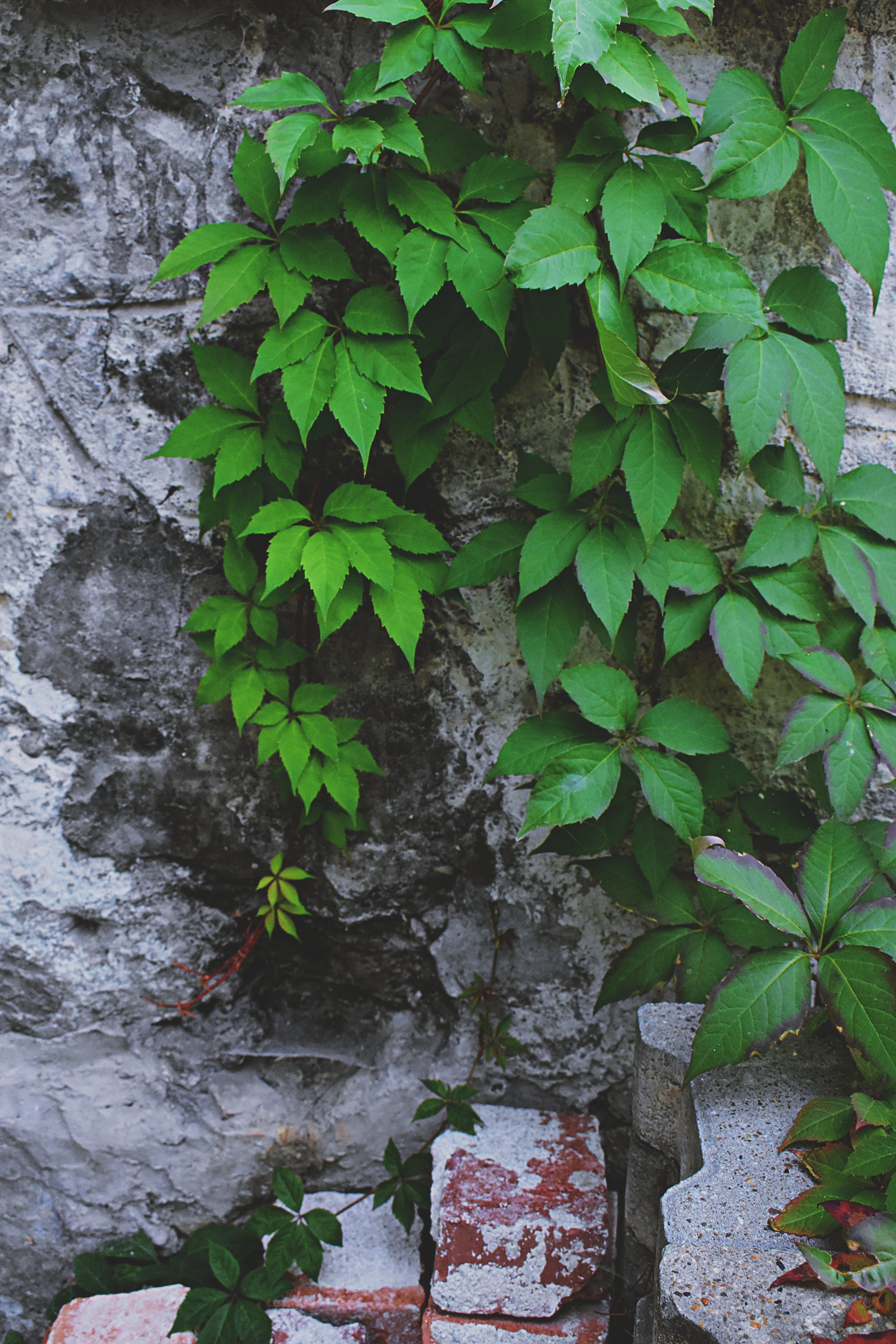 Ovate Leafed Vines on Gray Wall