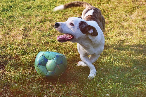 Brindle and White Puppy Playing Ball on Grass Field