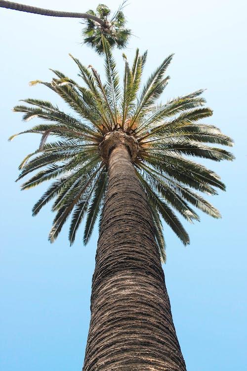 Безкоштовне стокове фото на тему «блакитне небо, дерева, кокосові пальми, пальми»