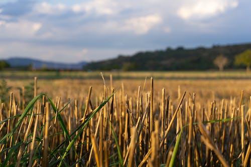 Imagine de stoc gratuită din câmp, cereală, cereale, cosite