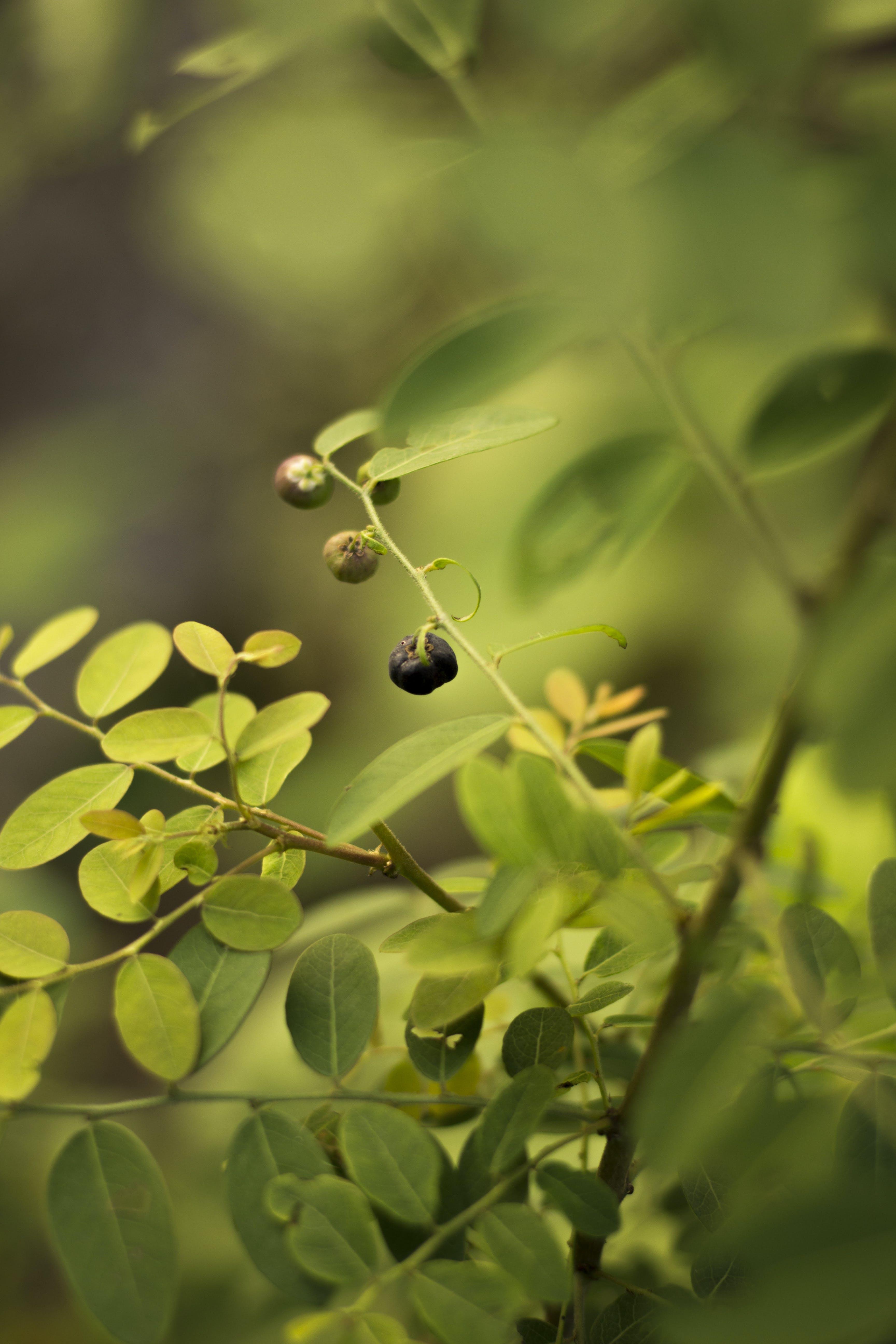Free stock photo of berry, blackberry, green leaf, leaf
