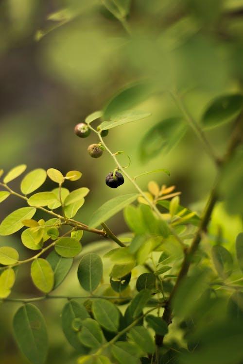 Imagine de stoc gratuită din BlackBerry, boabe, frunză verde