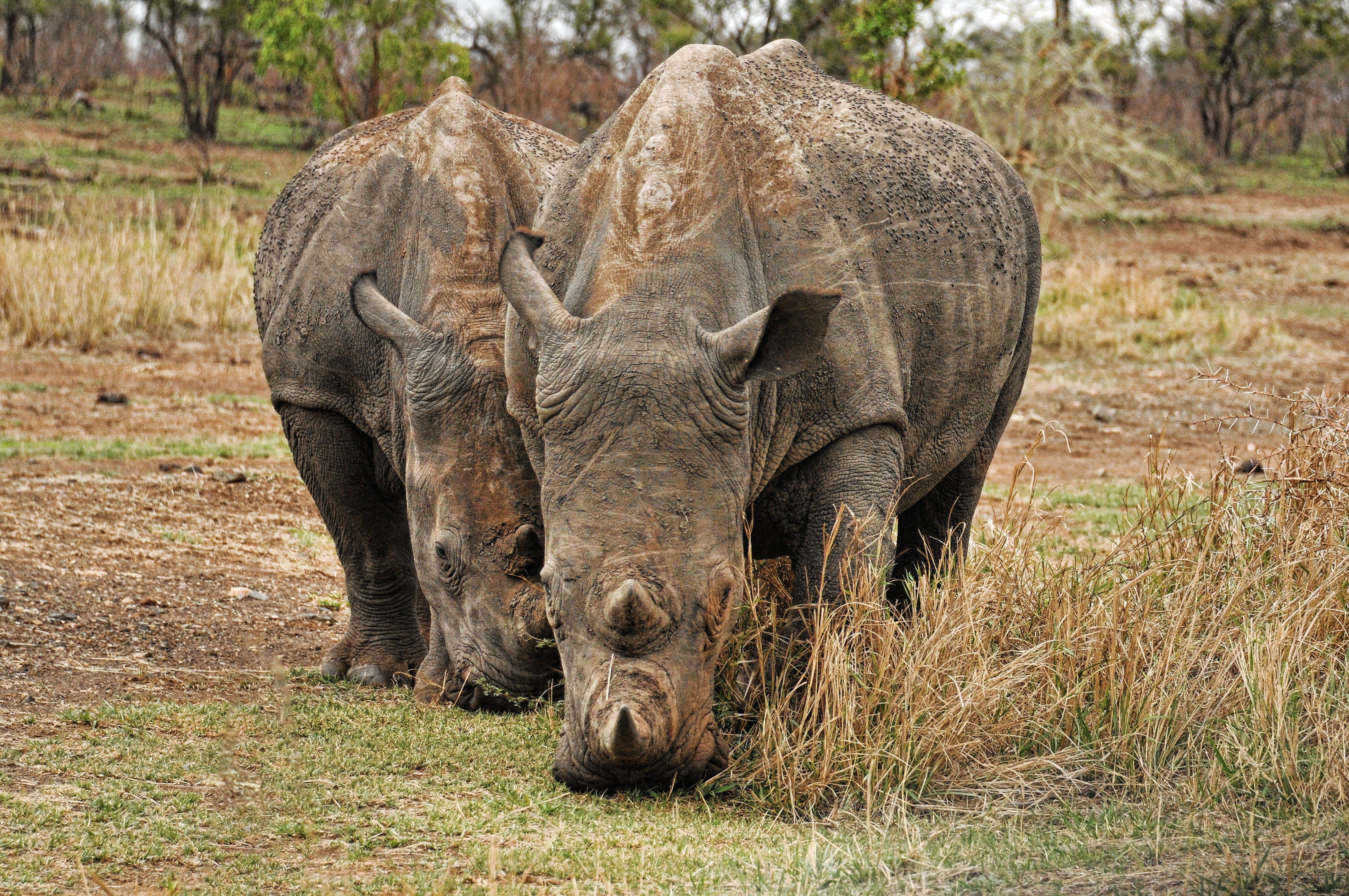 Photo of Two Brown Rhino