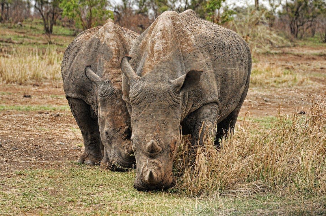 Photo of Two Brown Rhino