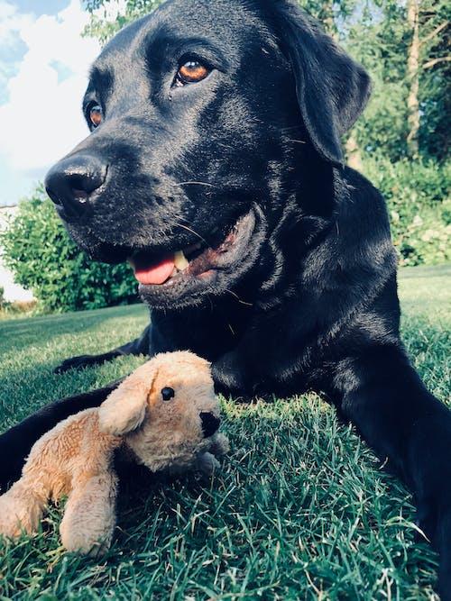 Photos gratuites de chien noir, labrador, ours en peluche