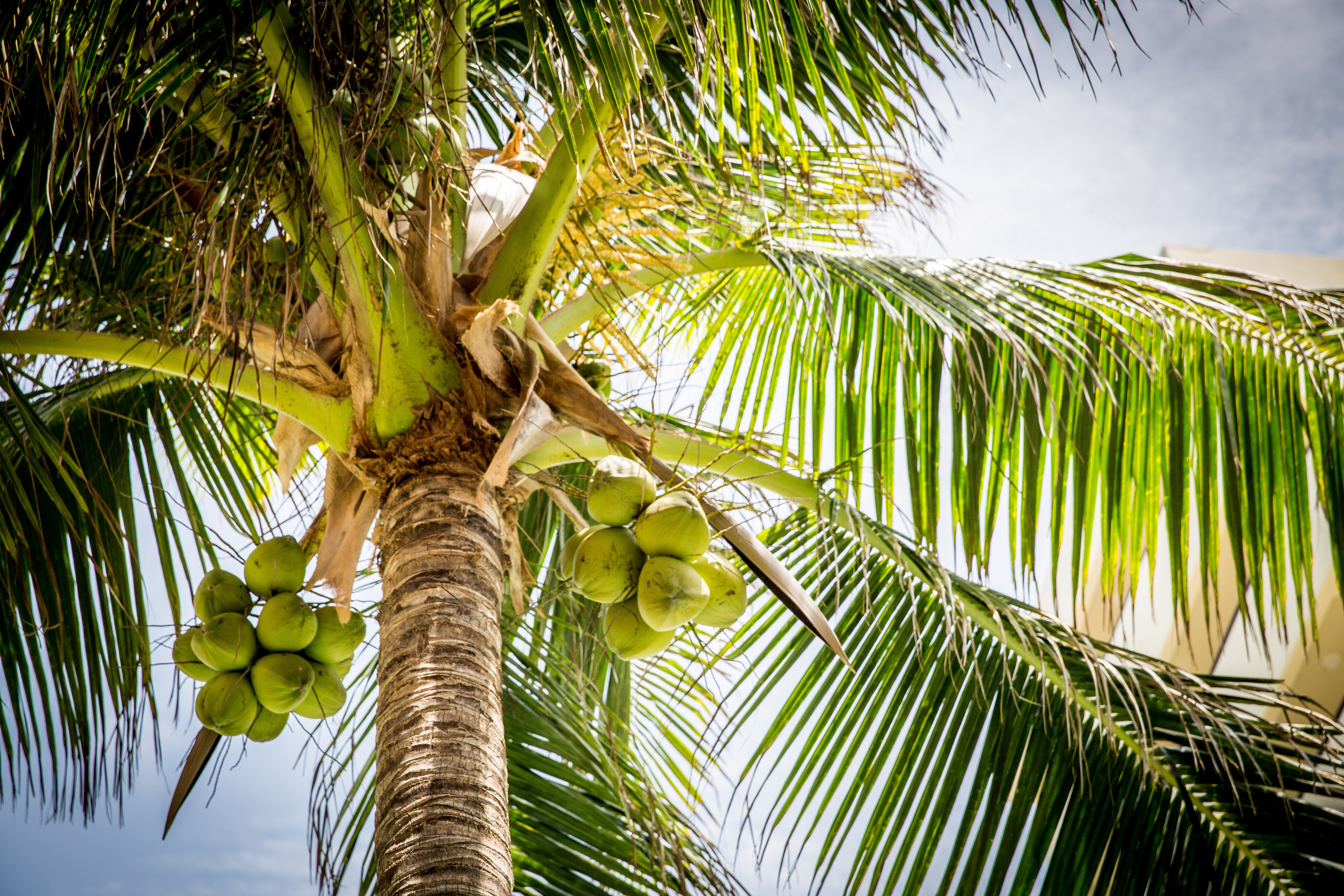 Free stock photo of beach, coconuts, palm, tree