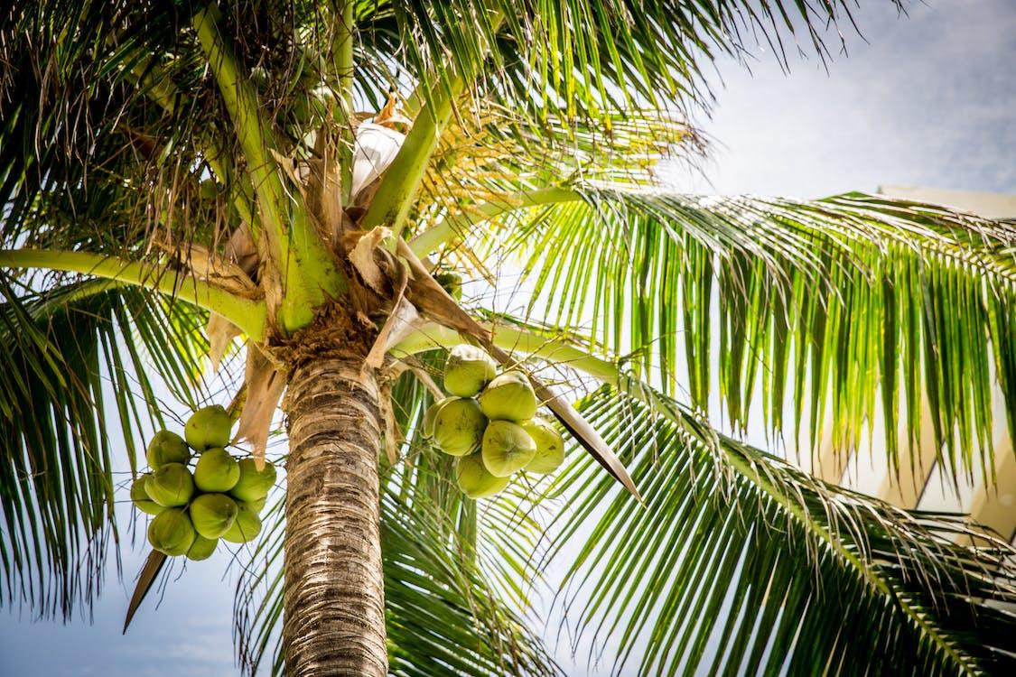 Kostenloses Stock Foto zu baum, kokosnüsse, palme