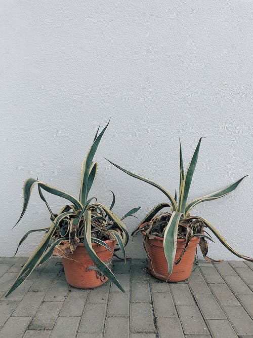 Two Potted Snake Plants