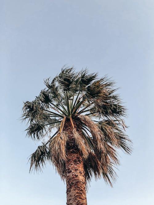 Základová fotografie zdarma na téma fotografie znízkého úhlu, jasná obloha, kokosová palma, obloha