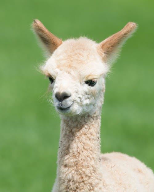 Gratis arkivbilde med alpakka, buskap, dyr, lama