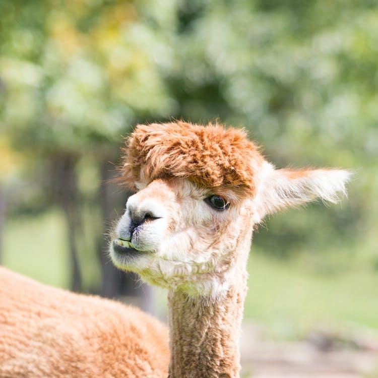 Free stock photo of alpaca, animal