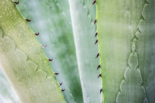 Close-up Photography of Aloe Vera Plant