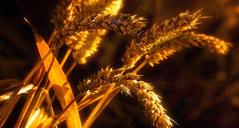 Immagine gratuita di azienda agricola, campo di grano, cannuccia, coltivazioni