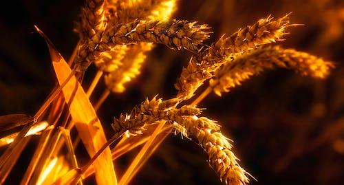 Fotos de stock gratuitas de campo de trigo, campos de cultivo, centeno, crecimiento