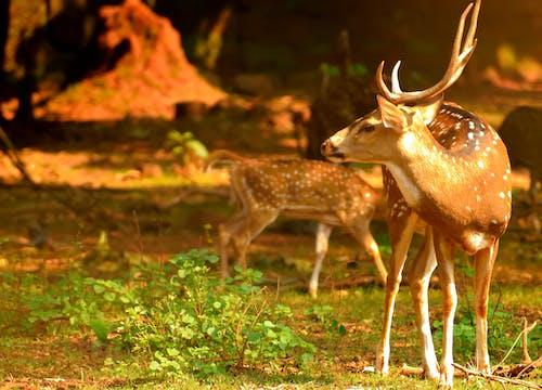 Ingyenes stockfotó állatpark, szarvas témában