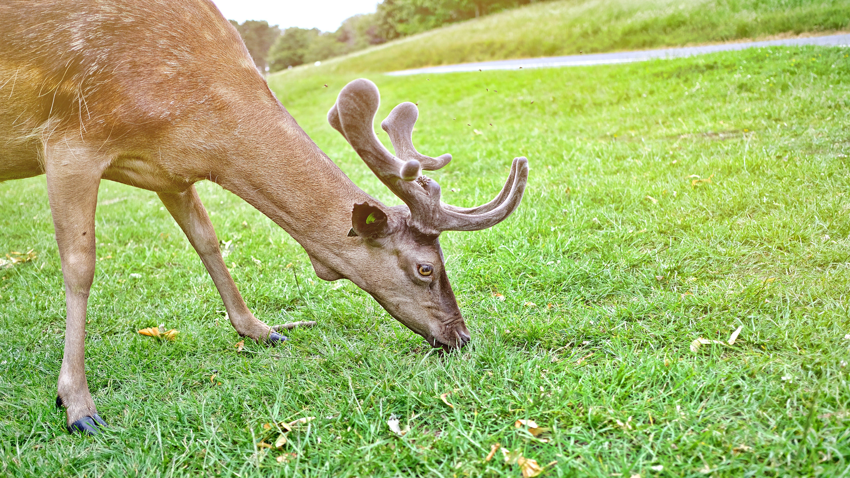 Brown Reindeer Eating Grass