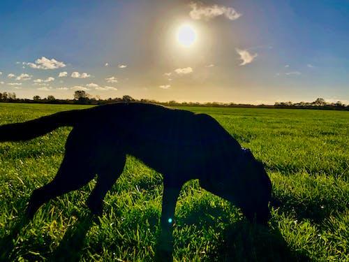 Photos gratuites de chien, chien noir, labrador