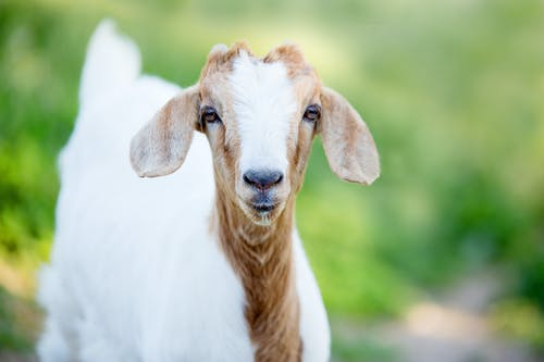 Selective Focus Photography White And Brown Goat