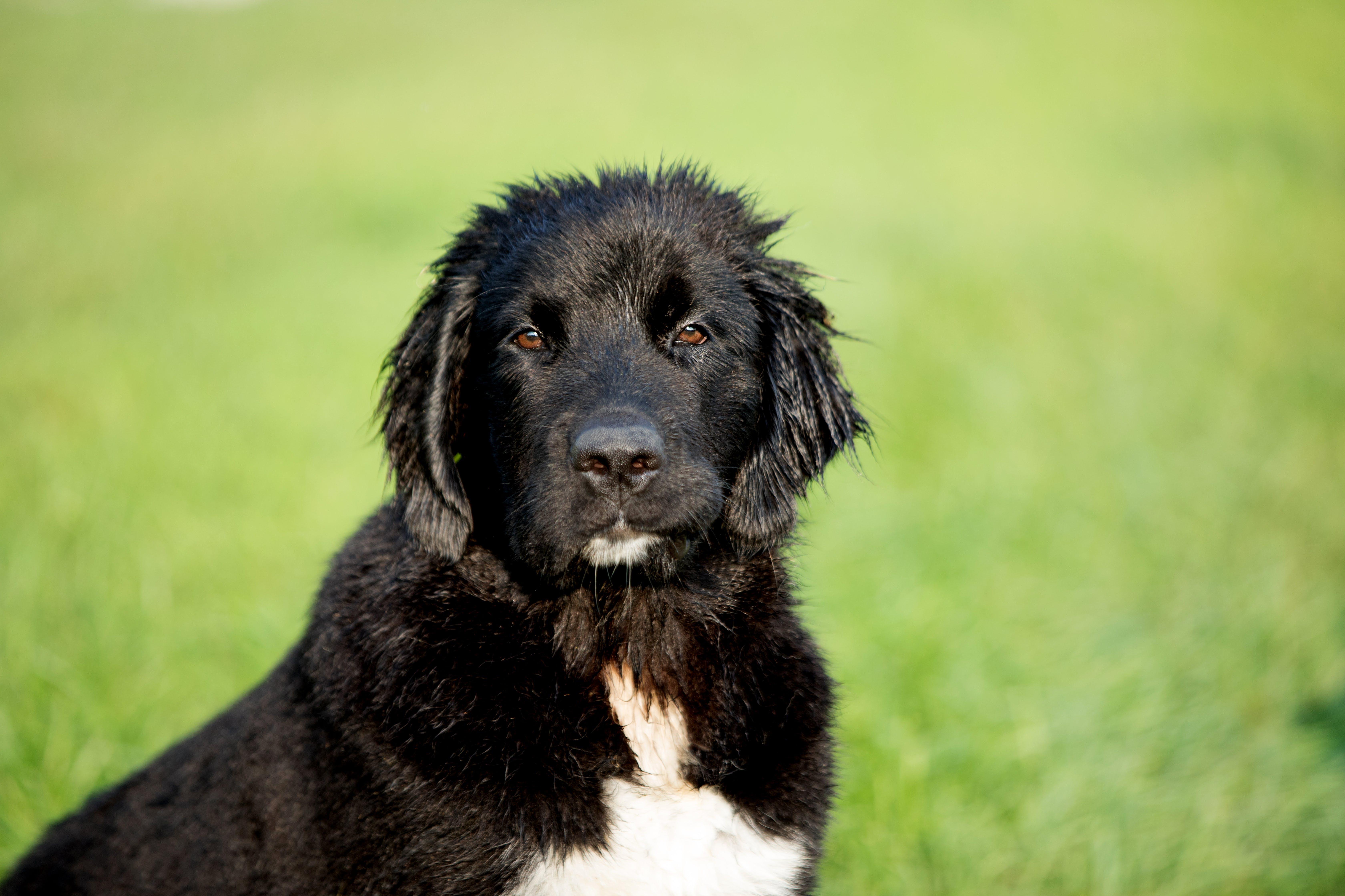 Short-coated Black and White Dog on Lush Pasture Selective Focal Photo