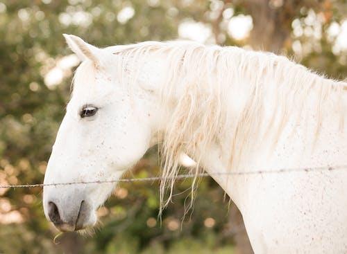 Darmowe zdjęcie z galerii z biały koń, koń, zwierzęta