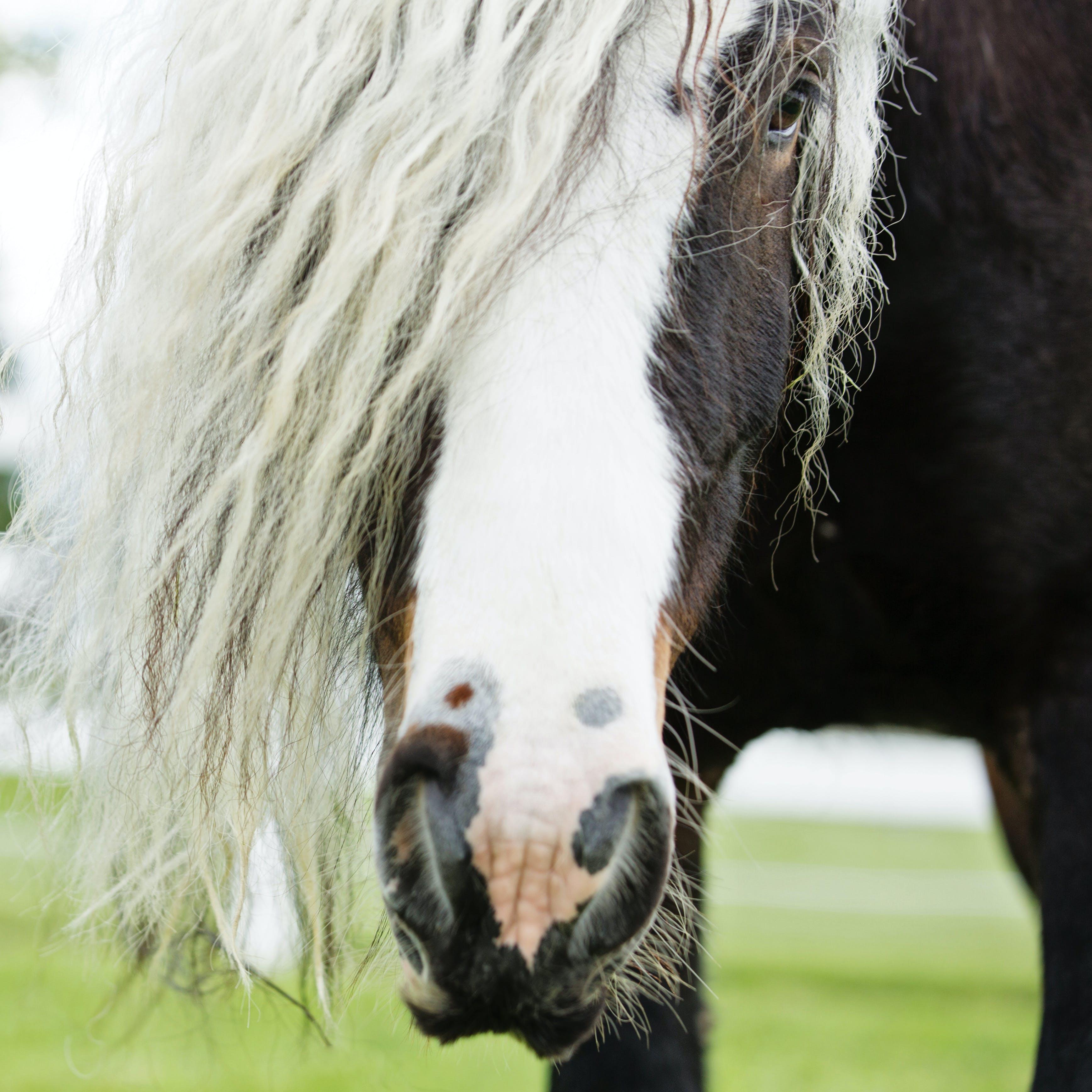 Foto stok gratis binatang, binatang peliharaan, domestik, kuda