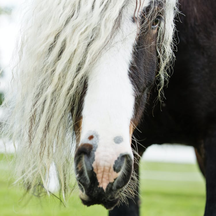 White and Brown Long-haired Horse