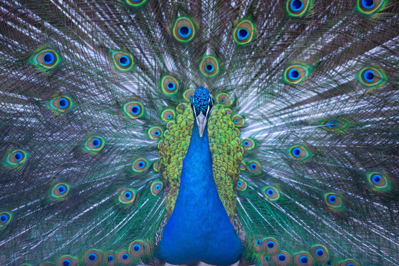HD 바탕화면, 공작, 깃털, 동물의 무료 스톡 사진