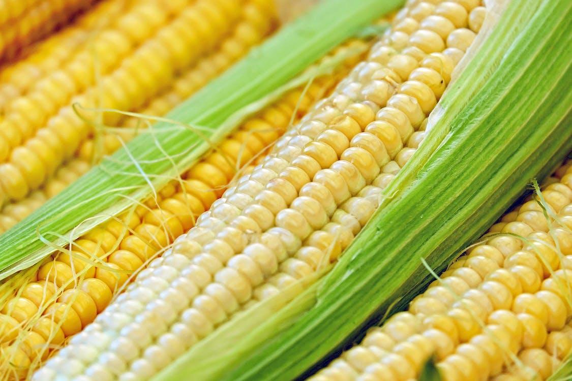 Free stock photo of corn, corn on the cob, frisch